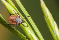 Imagen sobre el tema de la garrapata se asienta sobre una brizna de hierba